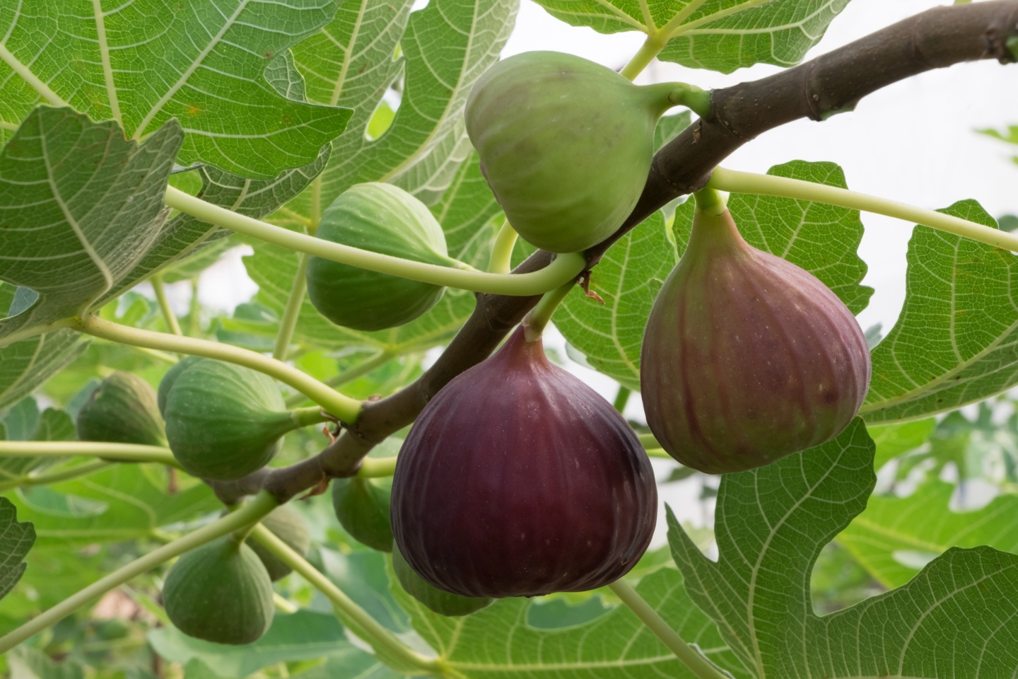 Figuring Out the Fig Tree