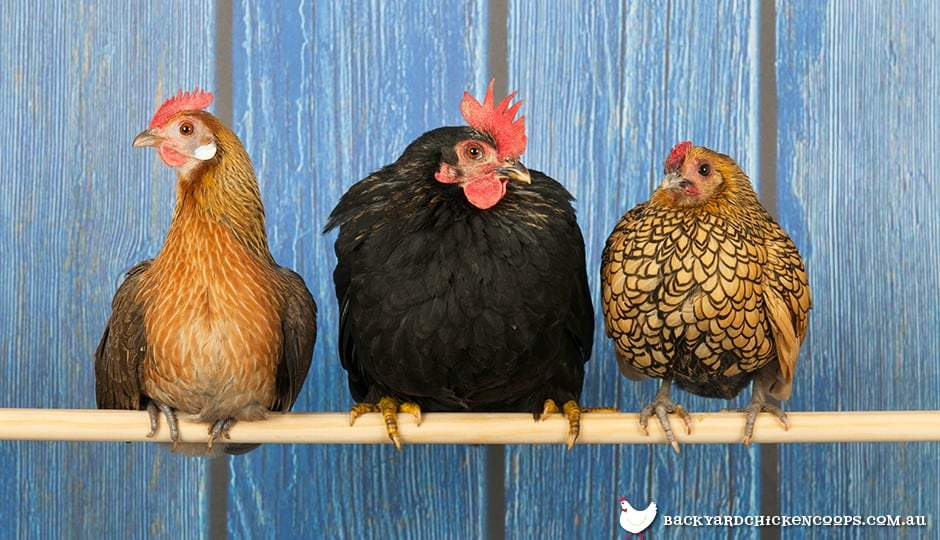 Teach Chickens How to Roost
